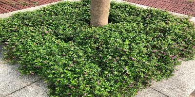 園林綠化植物主要蟲害防治——枝干蟲害、吸汁類蟲害